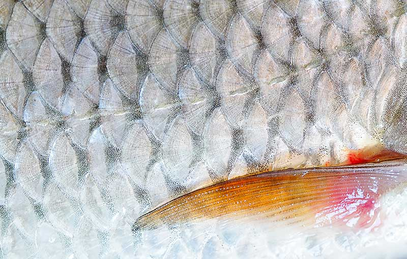 fish scales are used in cosmetics